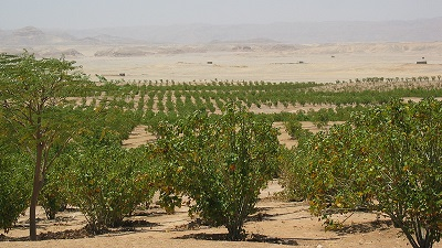 Jatropha in Luxor
